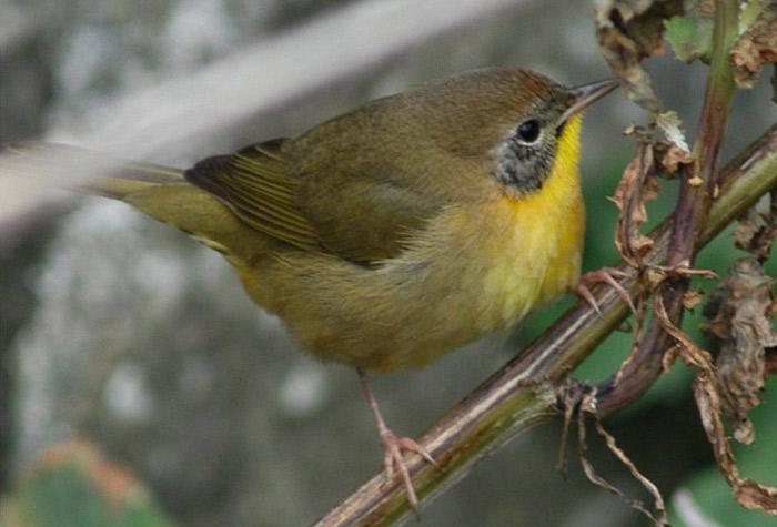 Семейство Славковые (продолжение).  Category: Систематический обзор птиц.  Comments off.  2010. Апр.
