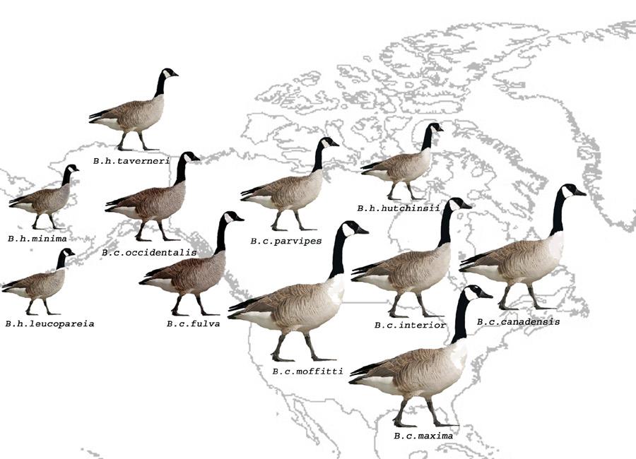 canada goose complex